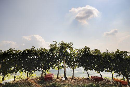 Tommasi-Conca-d-Oro-Vineyard_500px